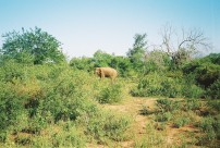 Elephant, Uda Walawe II