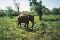 Elephant, Uda Walawe III